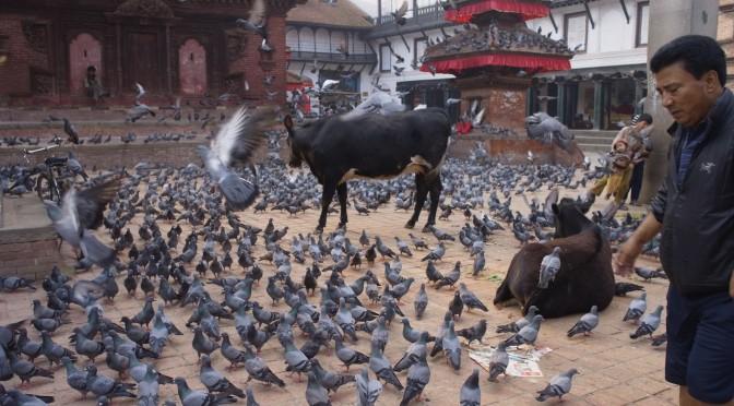 ネパールの早朝は動物ものんびり。というかハトがびっしり。