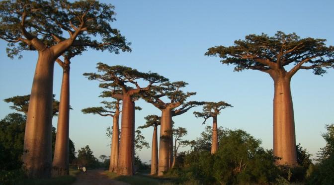 太さが50メートルを超すこともある世界最大級の木